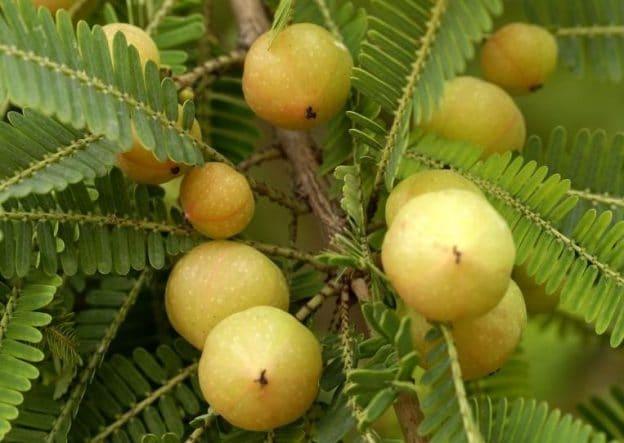 Actualités Equilibre de Vie - Amalaki, les vertus d'un fruit de légende