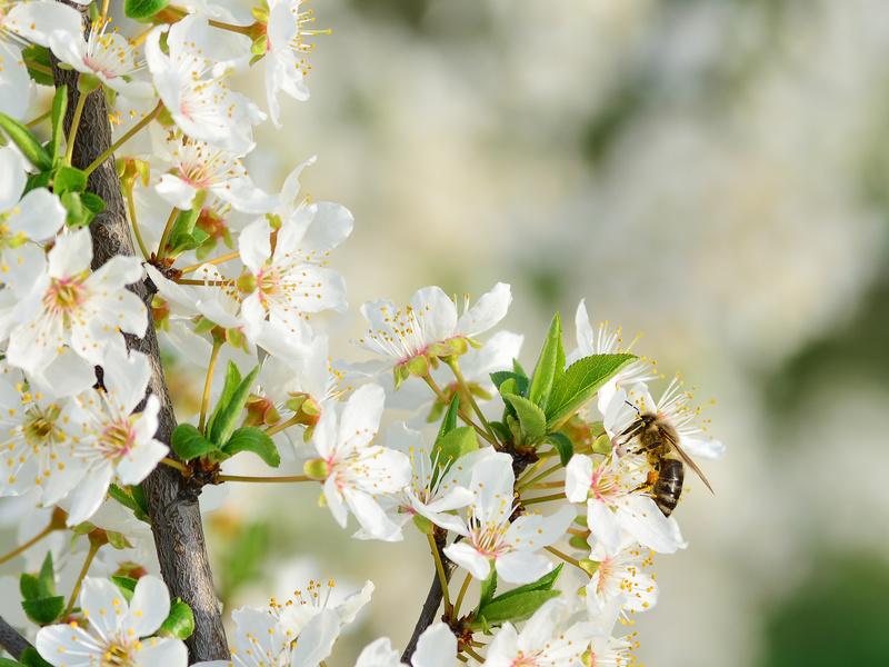 Fleurs de Bach Alsace - Prunier myrobolan
